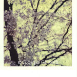 ciliegio 1987_120