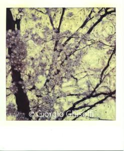 cherry tree 1987